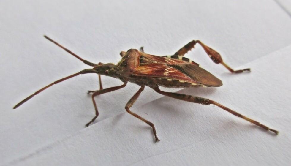 NY INSEKTART I NORGE: Det er flere voksne insektarter som trekker inn i husene om vinteren, de fleste er harmløse men kan bli plagsomme. På bildet ser du arten Leptoglossus occidentalis. Den er en amerikansk art som er spredt til Europa - i Norge hovedsakelig på Vestlandet, men den er også påvist på Østlandet. Denne trekker innomhus om høsten, og kan også samle seg i større antall. Fra USA er det beskrevet at denne kan punktere vannledninger ved at den stikker sugesnabelen sin gjennom plastrør, ifølge norsk forsker. Foto: Wikipedia.