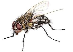 <strong>LOFTSFLUE:</strong> Den vanligste loftsfluen i hus er Pollenia rudis. Foto: Hallvard Elven / FHI.