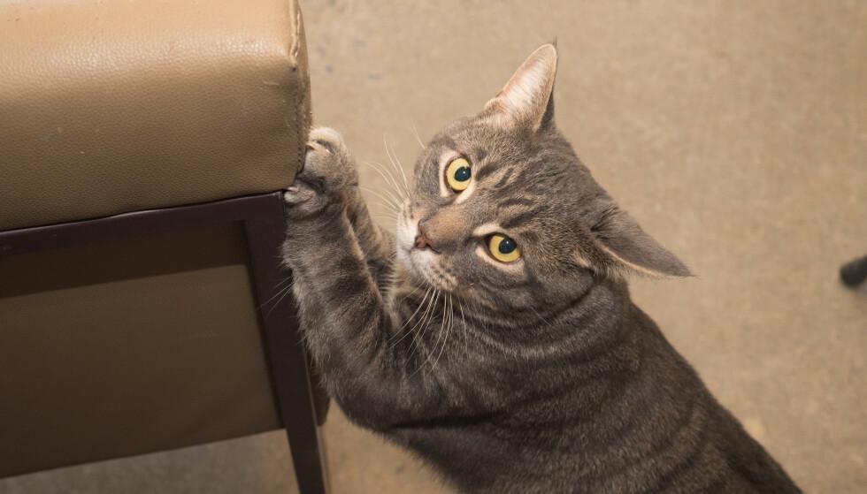 KLORER PÅ MØBLER: Når katten har begynt å klore på møblene i huset, kan det bety flere ting. I artikkelen under får du vite hvordan du kan løse problemet. Foto: NTB Scanpix.