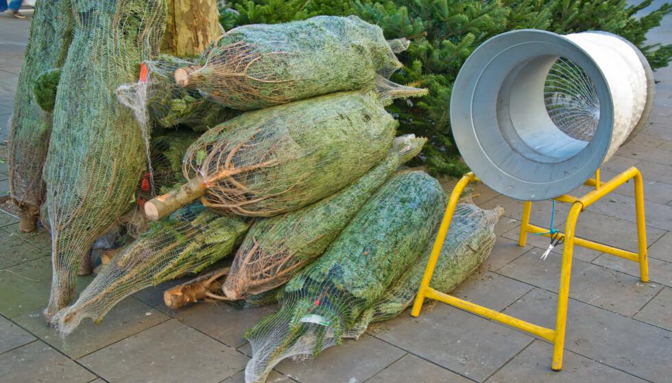 <strong>PRISKRIG:</strong> Norske juletreprodusenter sier de må legge ned grunnet konkurranse fra store kjeder som selger trærne billig. Foto: Shutterstock/NTB Scanpix.