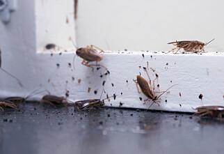 Kakerlakkene sprer seg i Norge