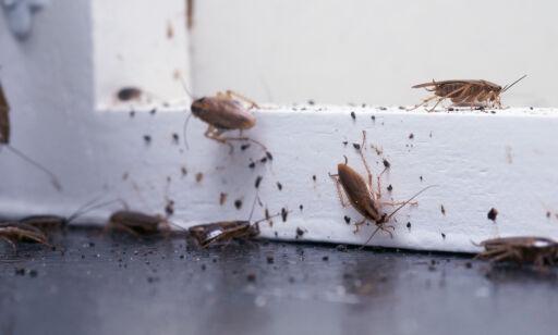image: Kakerlakkene sprer seg i Norge