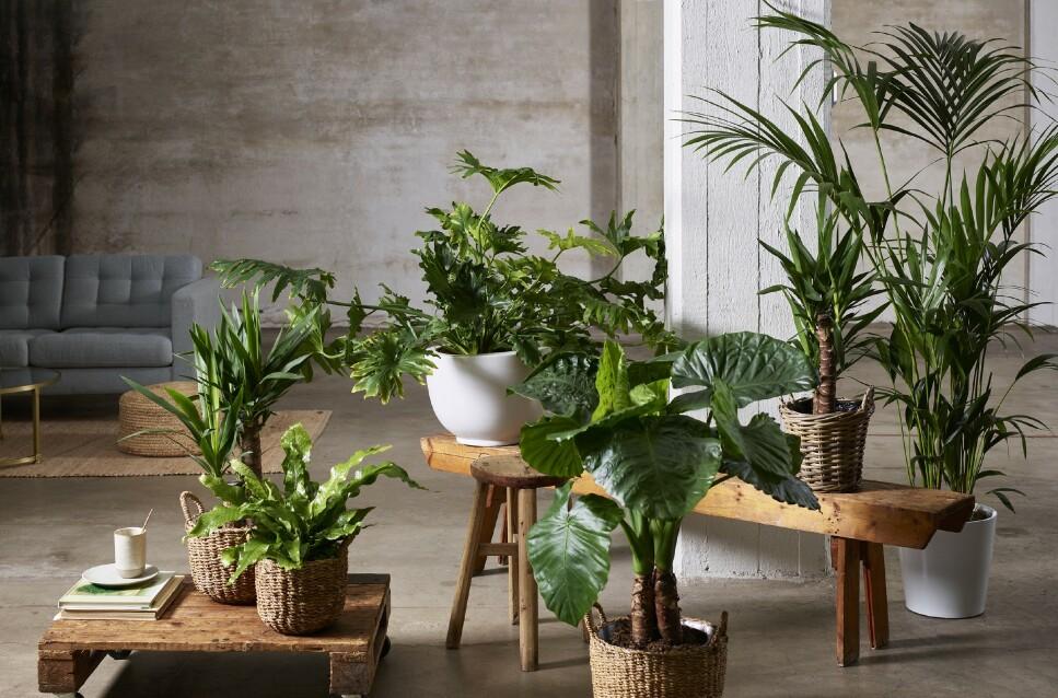 STRESSDEMPER: Er du stresset, bør du skaffe deg noen grønne planter til hjemmet. Foto: Ragnar Hartvig for Mester Grønn.