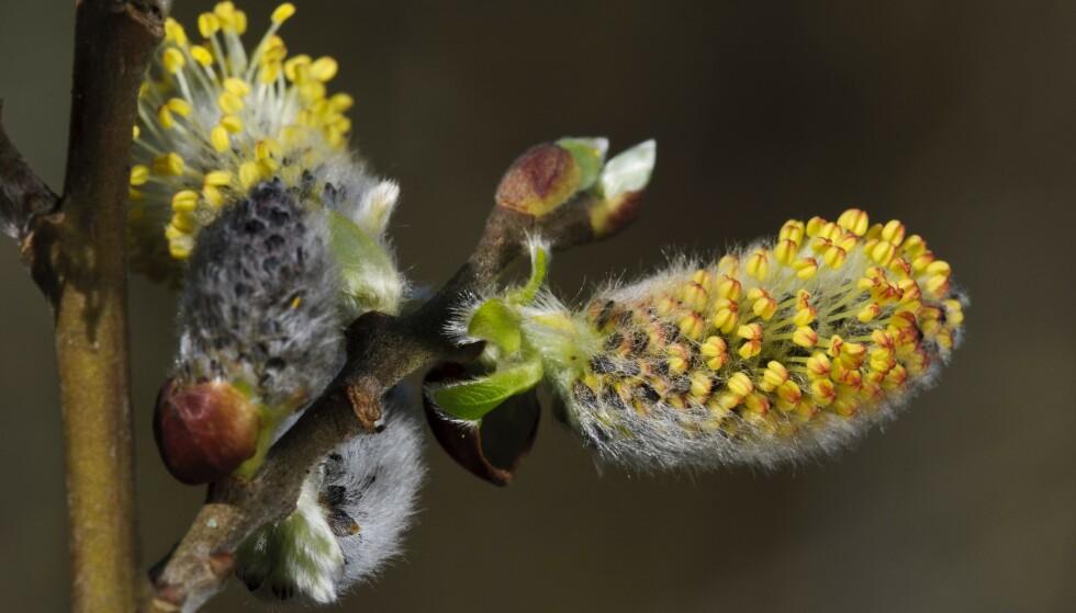POLLENALLERGI OG CORONA: I utgangspunktet skal det være mulig å skille mellom symptomer fra pollenallergi og en infeksjon forårsaket av coronaviruset. Foto: NTB Scanpix