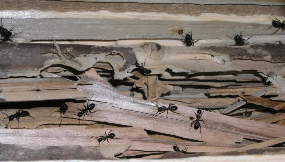 STOKKMAUR: Disse insektene trives godt i treverk som er fukt- eller råteskadet. Foto: Norsk Hussopp Forsikring