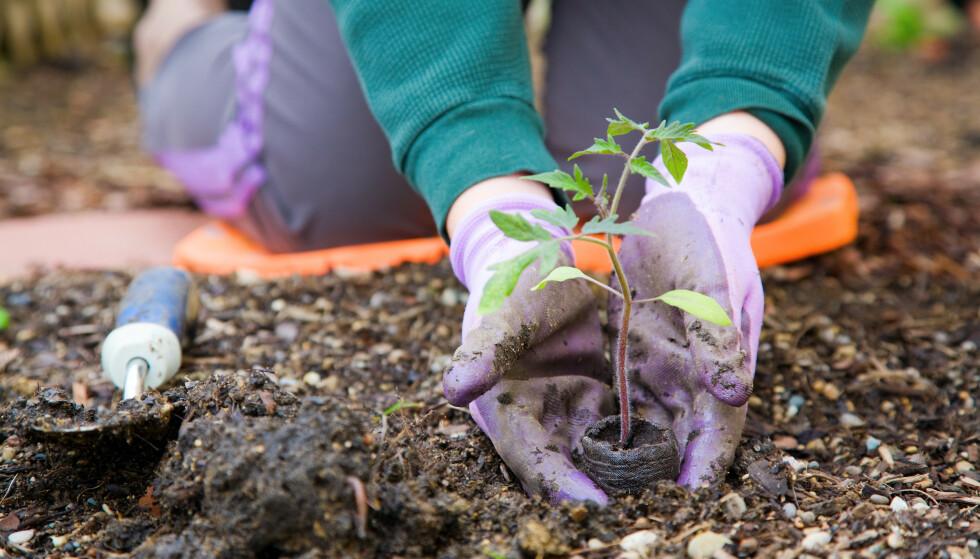 PLANTE UTE OM VÅREN: Våren vekker liv i blomsterbedet, men den kan også ta knekken på plantene du setter ut. I artikkelen under får du vite hvorfor dette kan skje, og hva du kan gjøre for å beskytte uteplanter om våren. Foto: NTB Scanpix.