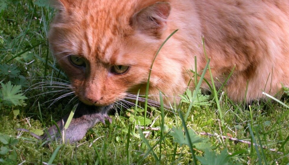 MUSEGIFT: Katter kan få i seg giftstoffet når de spiser forgiftede dyr. Foto: Svein Magne Fredriksen/Miljødirektoratet