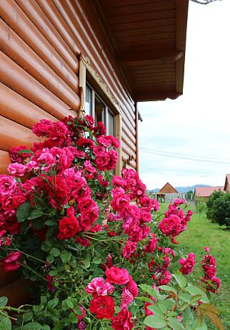 FINT, MEN FARLIG: Blomsterbusker inntil hytteveggen er fint visuelt, men kan dessverre by på vannskader og skadedyr. Foto: Shutterstock