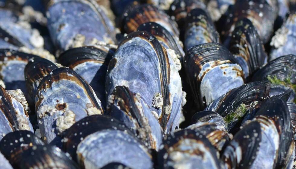 <strong>BLÅSKJELL:</strong> Du bør unngå å spise blåskjell fra flere steder i Norge. Foto: NTB Scanpix/Shutterstock
