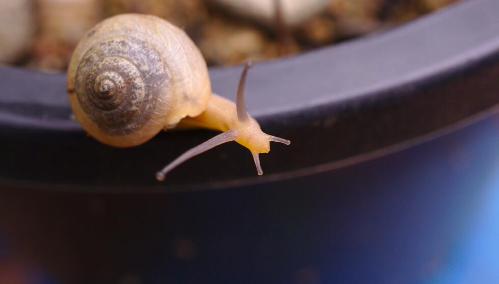 TRUER NORSKE HAGER: Flekkbåndsneglen (Cornu aspersum) hører ikke naturlig hjemme i Norge, men er nå oppdaget flere steder i landet. Den kan gjøre stor skade på hager og landbruk. Foto: Shutterstock/NTB scanpix