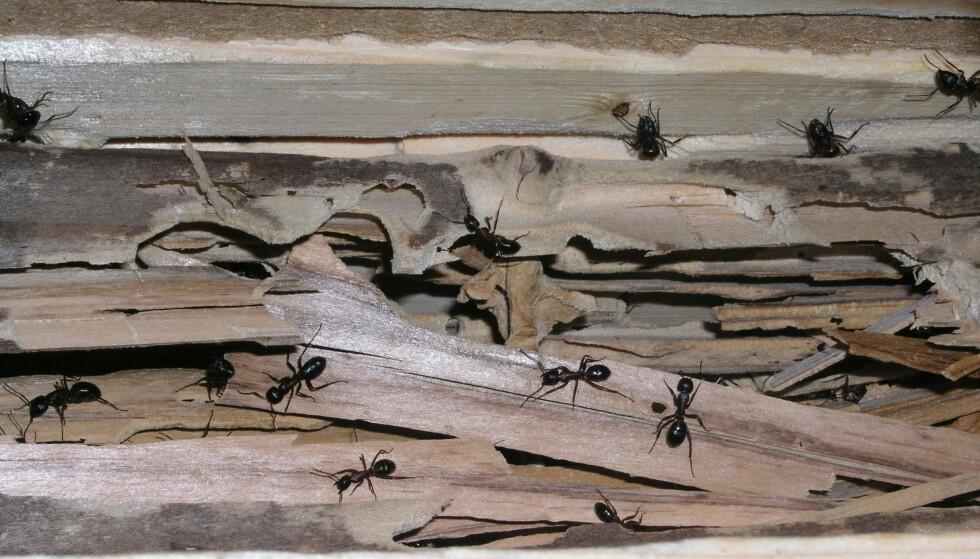 STOKKMAUR: Stokkmaur er én av tre typer trespisende insekter som kan finnes i huset ditt. Stokkmaur gnager ganger for å gjøre plass til bolig. Foto: Norsk Hussopp Forsikring.