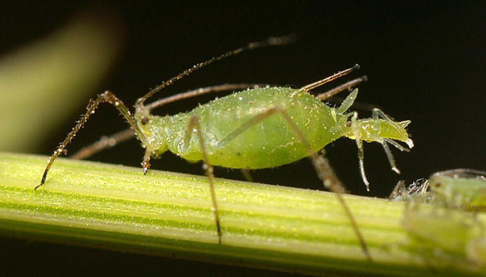 ØDELEGGENDE BLADLUS: Bladlus kan virkelig gjøre skade på planter og frukttrær. De formerer seg raskt i tusentall, og føder dessuten levende unger, som dette bildet viser. Men det finnes særlig ett enkelt kjerringråd som kan ta knekken på dem - rådet går ekspertene god for! Foto: Wikipedia (CC BY-SA).