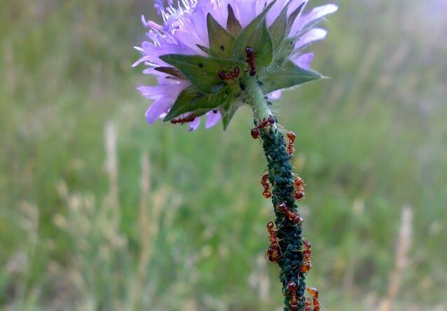 SAMARBEIDER MED BLADLUS: Maurene samarbeider med bladlusene. Foto: Wikipedia (CC BY-SA)