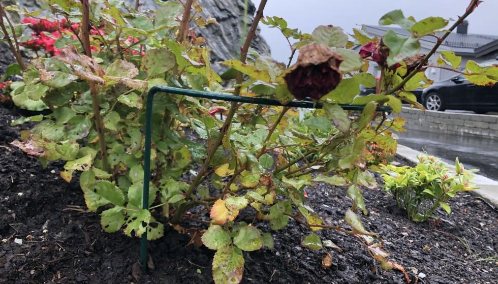 STØTTE: Unngå at vinden knekker plantene med en skikkelig plantestøtte. Foto: Linn Merete Rognø.