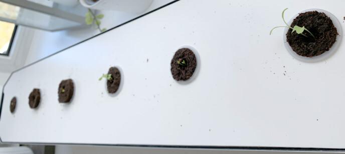 EN UKE: Etter en uke ser det slik ut: Salaten har kommet lengst (annenhver, med start ytterst til høyre) - mens basilikumen er noe tregere. Foto: Kristin Sørdal