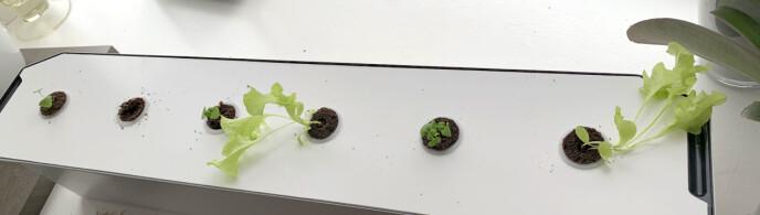 TRE UKER: Dette er status etter tre uker, og som du kan se så har salaten vokst mest. Kristin Sørdal
