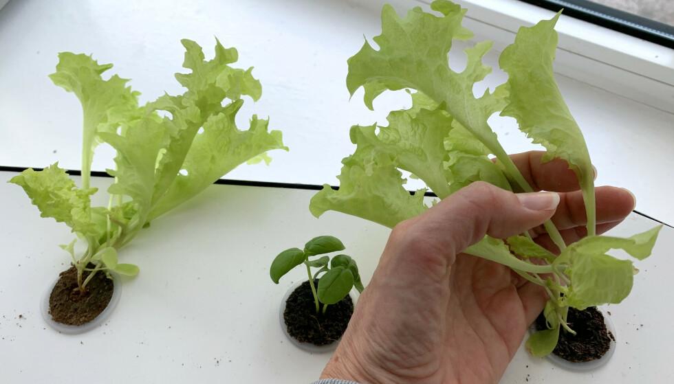 FIRE UKER - OG KLAR SALAT: Ifølge deklarasjonen på plantepluggene, skal salaten nå være spiseklar, etter fire uker. Den er ikke kjempestor, men kan fint spises. Foto: Kristin Sørdal
