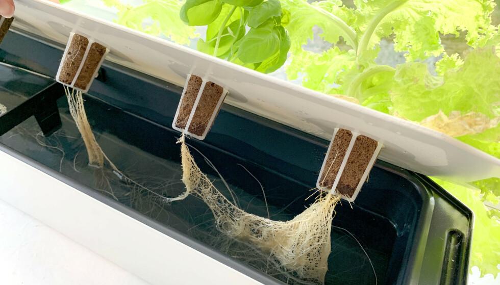 VANN-DYRKING: Slik ser det ut oppi plantekassa etter noen uker. Røttene vokser ned og trekker vann og næring fra beholdningen i kassa - og du slipper å huske å vanne. Foto: Kristin Sørdal