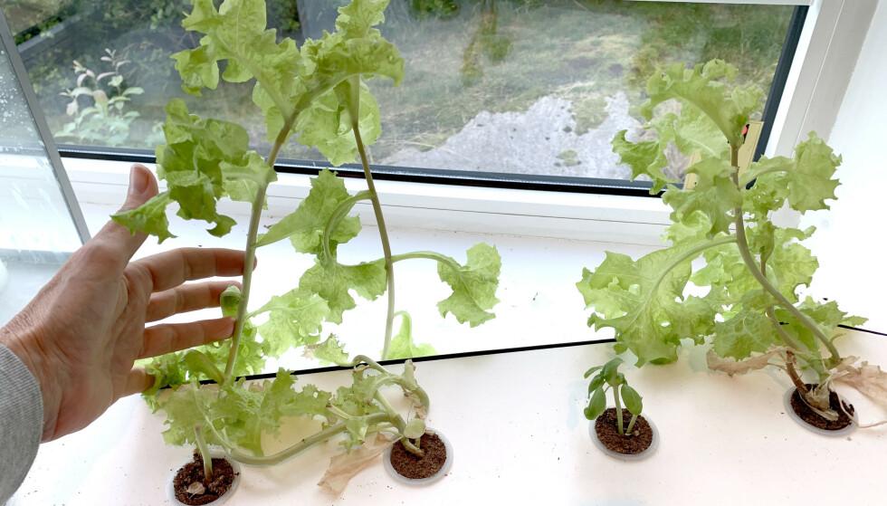 ETTER 12 UKER: Slik ser det ut etter at vi har knepet av den første salaten og latt det vokse opp igjen. Foto: Kristin Sørdal