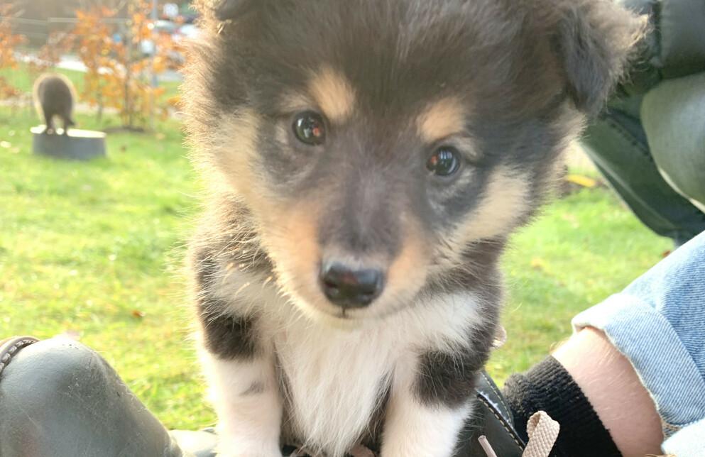 HUNDEFORSIKRING? Mange har benyttet mer tid hjemme til å fått et nytt familiemedlem, men kun 6 av 10 har forsikret hunden sin, ifølge forsikringsselskapet Codan. Foto: Kristin Sørdal