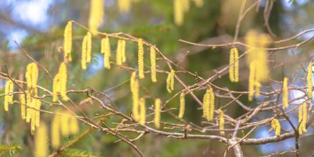 Pollensesongen er i gang