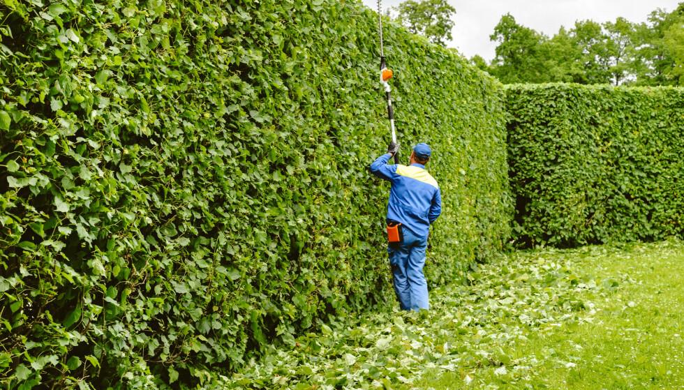 TABBER VED KLIPPING AV HEKK: Sesongen for klipping av hekk er i gang, men vet du om du klipper den riktig? Foto: NTB
