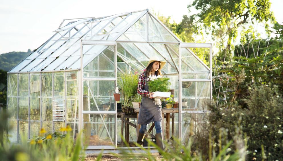 BYGGE DRIVHUS: Stadig flere vil ha drivhus i hagen sin. Få eksperttipsene her! Foto: NTB Scanpix.