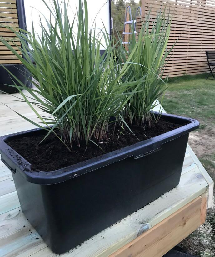 MURERBALJE: En slik kan du bygge en åpen blomsterkasse rundt, så kan murerbaljen løftes opp av kassen ved behov. Husk å borre hull i bunnen av baljen for drenering! Foto: Kathrine Haugholt.