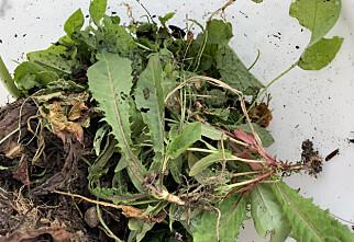 Ugress er mat for hageplantene