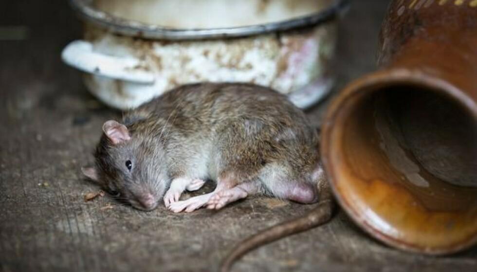 BESØKET DU IKKE VIL HA: Kommer det mus og andre skadedyr inn i boligen, kan det bli dyrt. Foto: Pixabay